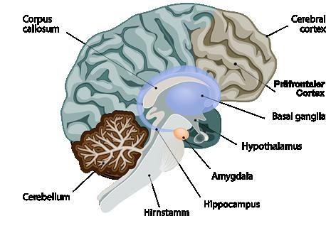 Das Gehirn bei Angst
